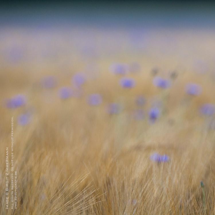 kornblumen-4