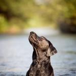 Hundefoto Labrador im Wasser - Tierfotograf München