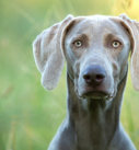 Hundefotografie in München: Frenchie an der Isar