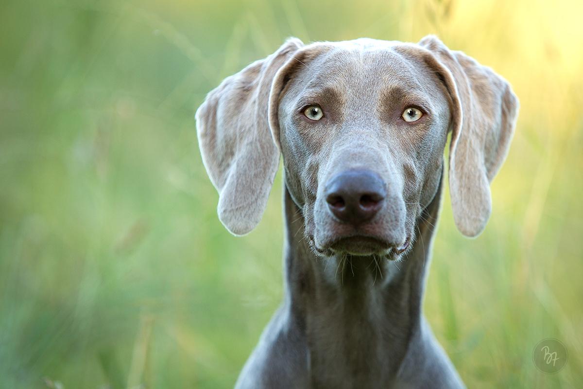 Hundefoto Weimaraner Blick
