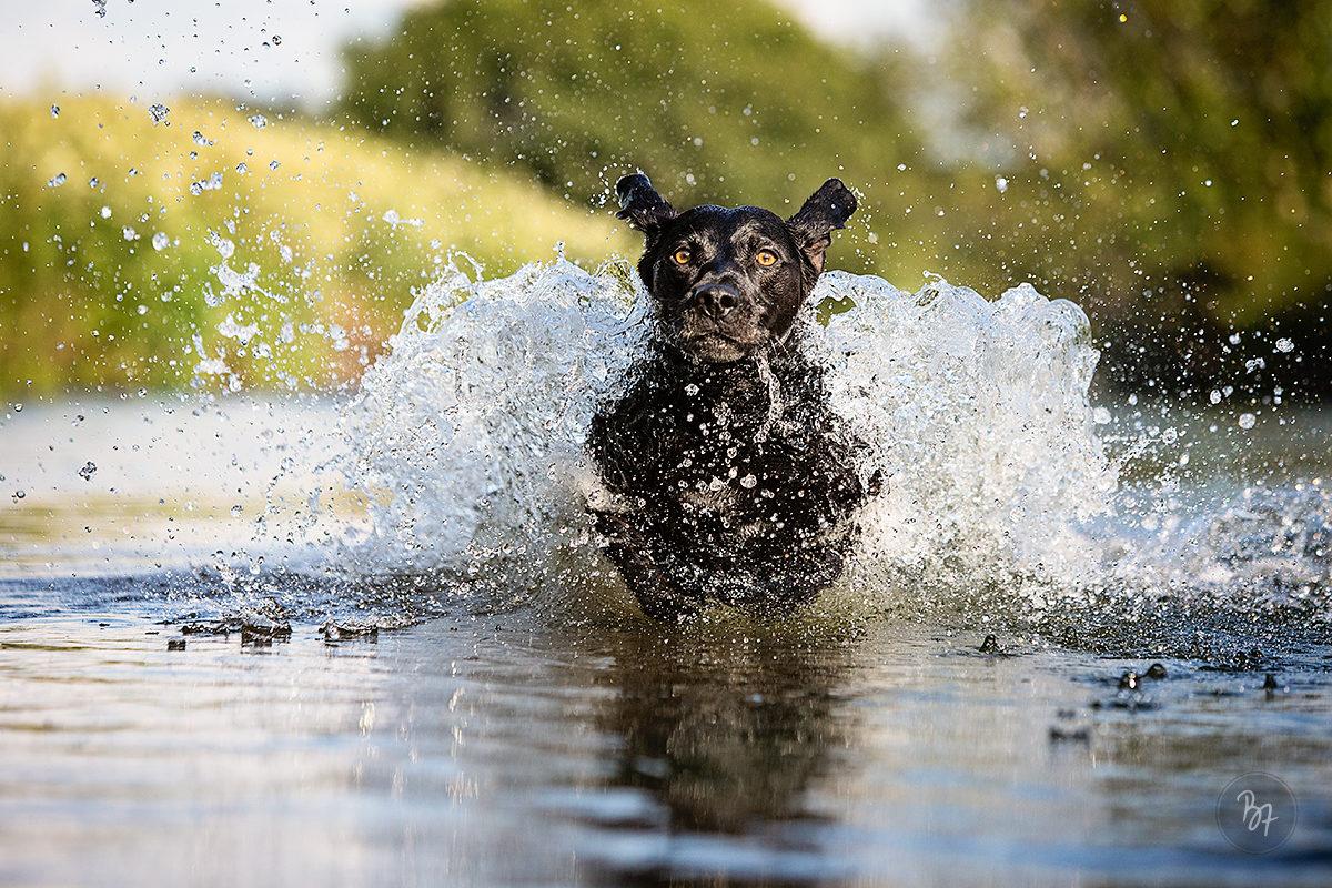 Hundefoto Labrador im Wasser im Sprung