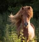 Pferdefotografie bei Stuttgart: Prächtiger Island-Fuchshengst im Freilauf