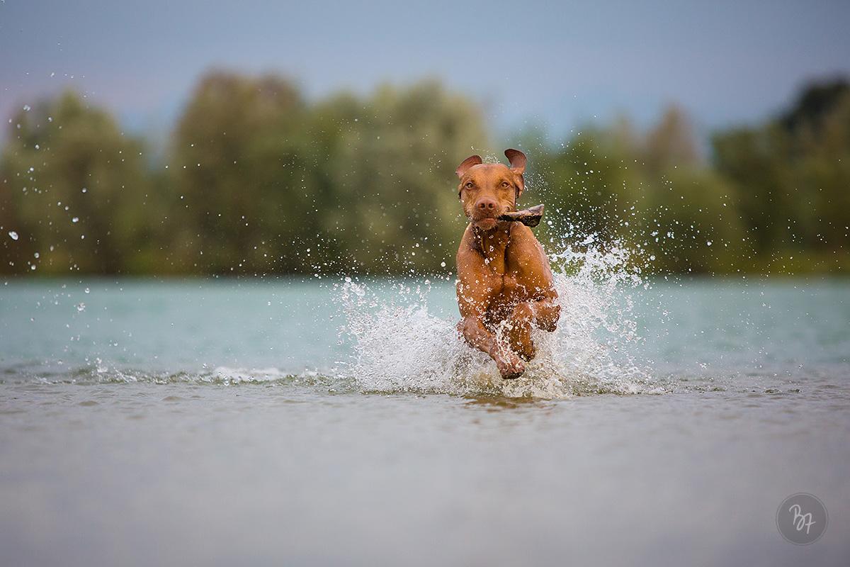 Hundefoto Viszla im Wasser