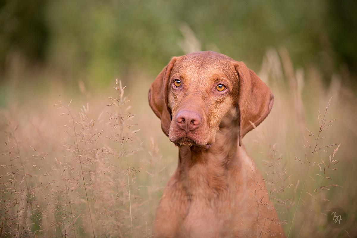 Hundefoto Viszla im Gras