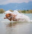 Hundefotografie bei München: Viszla rennt durch flaches Wasser
