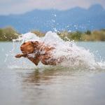 Hundefoto Viszla im Wasser - Tierfotograf München