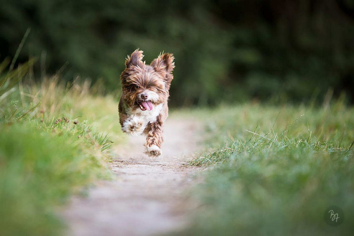 Hundefoto kleiner Hund im Lauf - Tierfotograf München