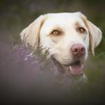 Hundefoto Labrador in der Heide - Tierfotograf München