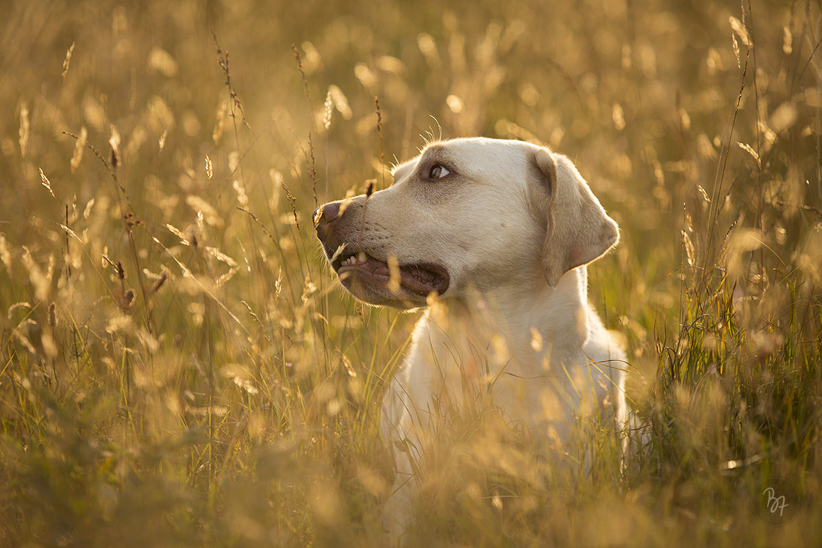 Hundefoto Labrador in der Wiese - Hundefotograf München