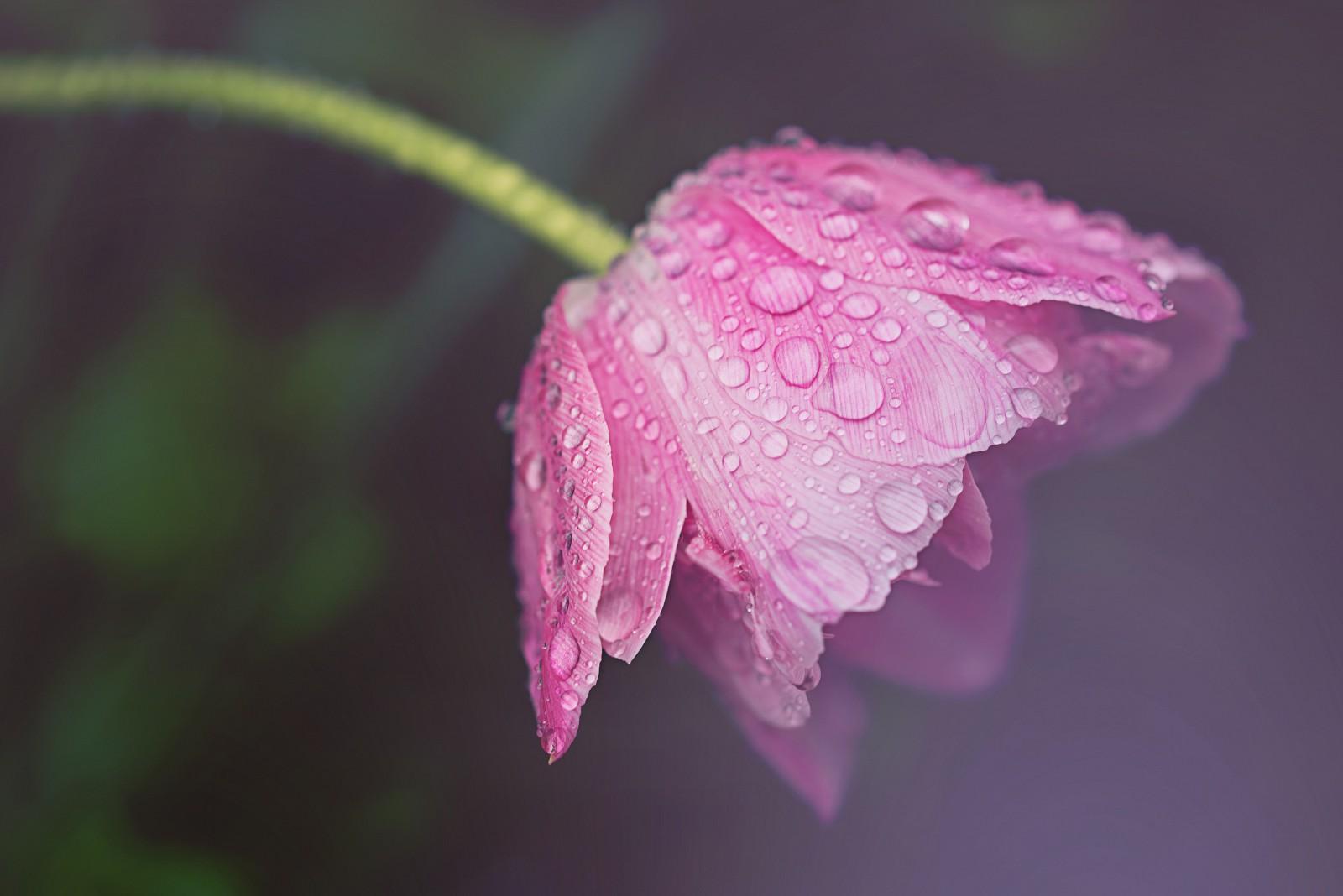Tulpe-nass,xlarge.1420129792