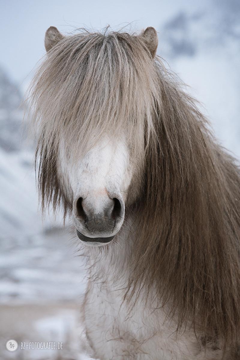 island-pferde-horn-januar16-004
