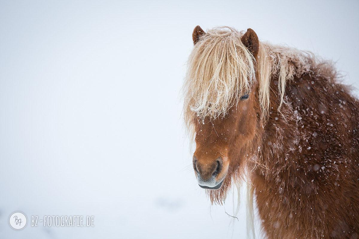 island-pferde-schnee-008