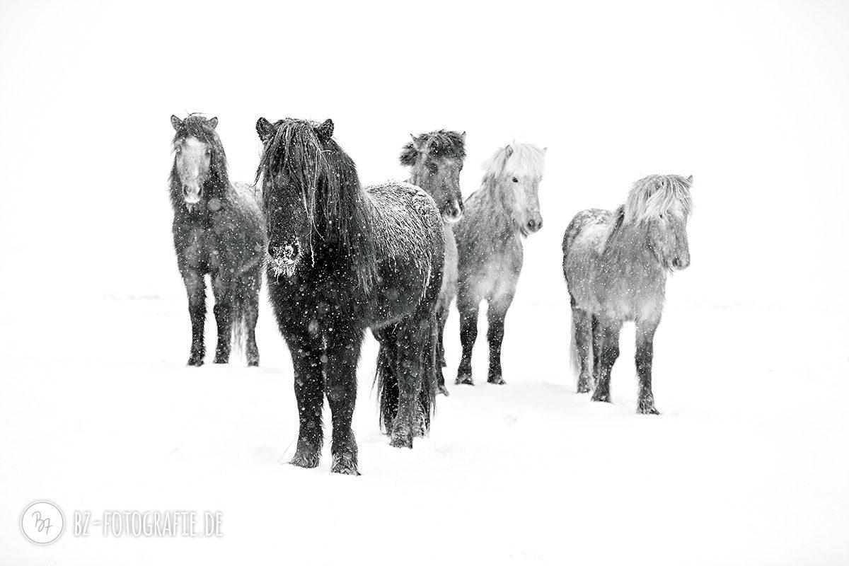 island-pferde-schnee-013