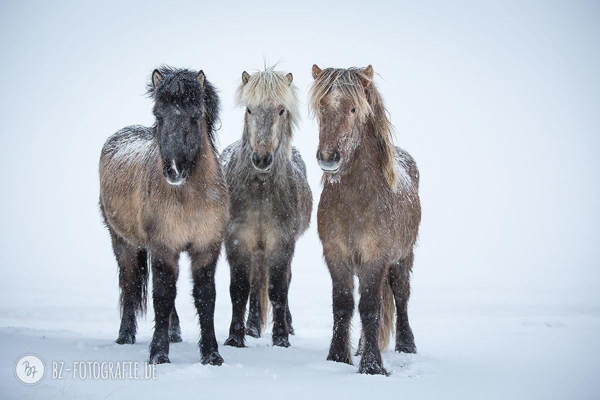 island-pferde-schnee-015