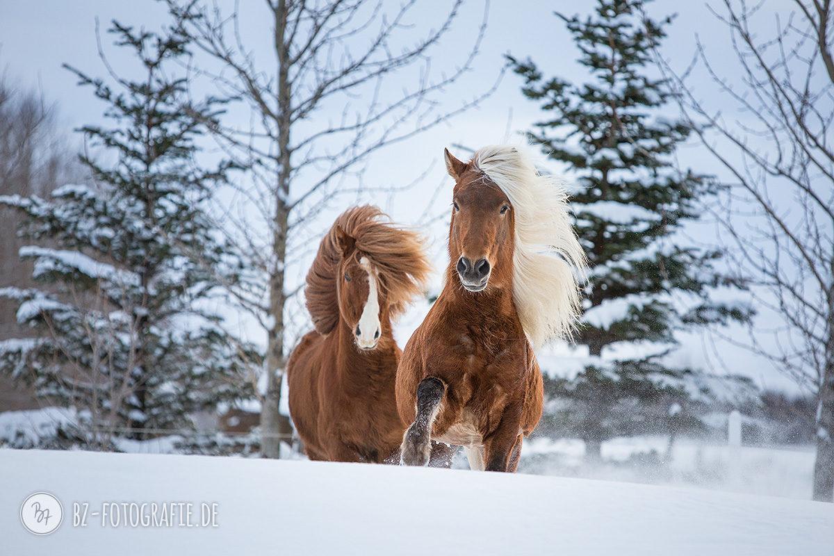 island-pferde-schnee-023