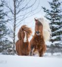 Pferdefotografie: Zwei Islandpferde galioppieren im Schnee