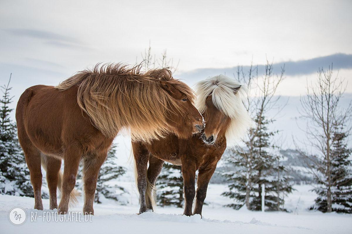 island-pferde-schnee-026