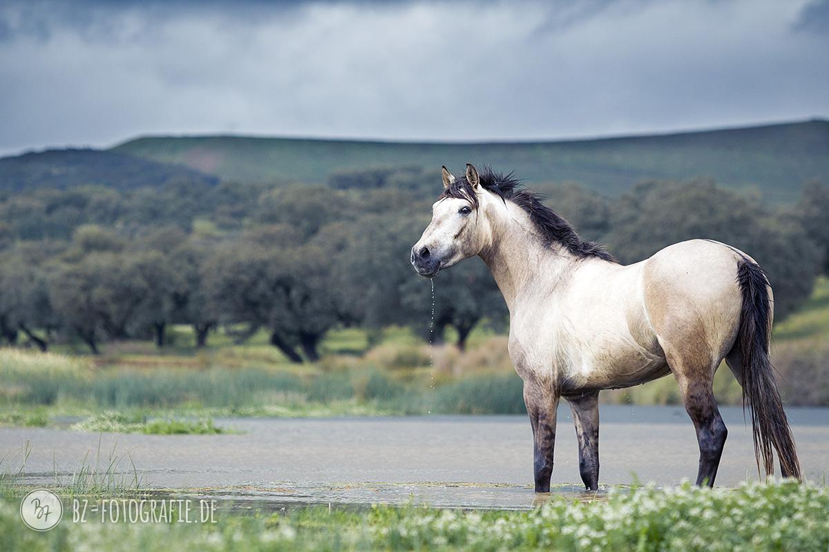 Pferdefoto Hispano-Araber im Wasser in Andalusien