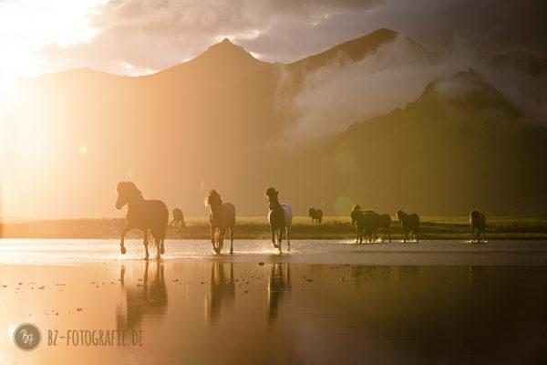 Fotoreise: Pferdeherde im Wasser auf Island