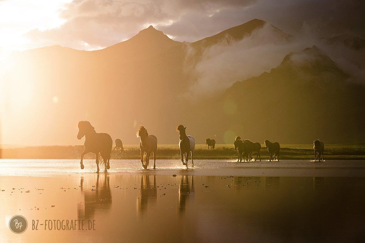 Pferdefotografie | Pferdeherde im Wasser auf Island