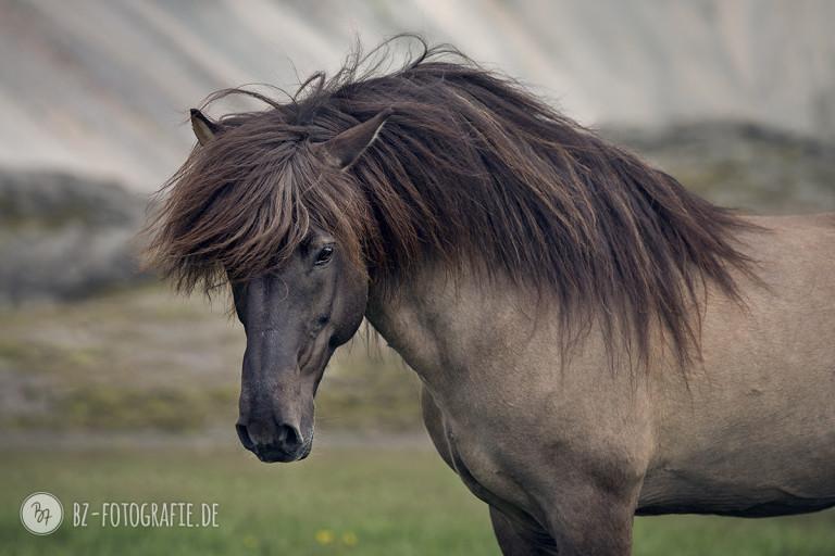 Islandhengst Flygill frá Horni
