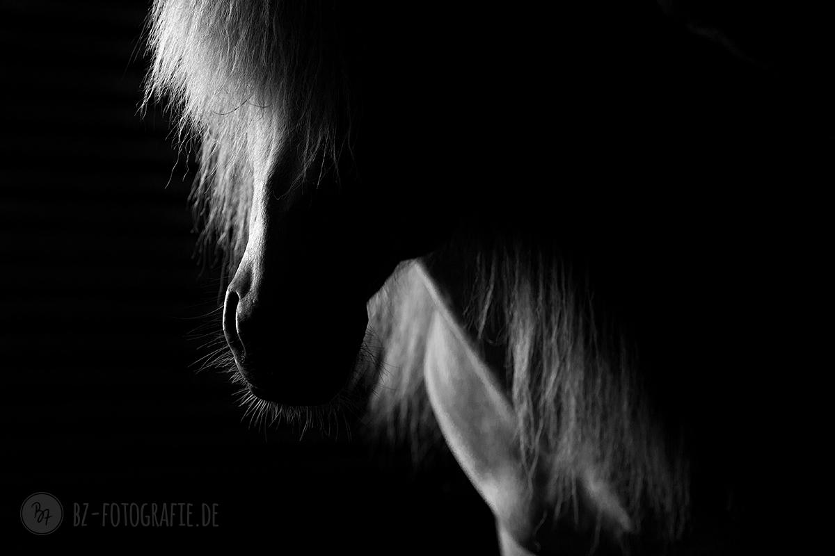 islandpferd-schimmel-lowkey-005
