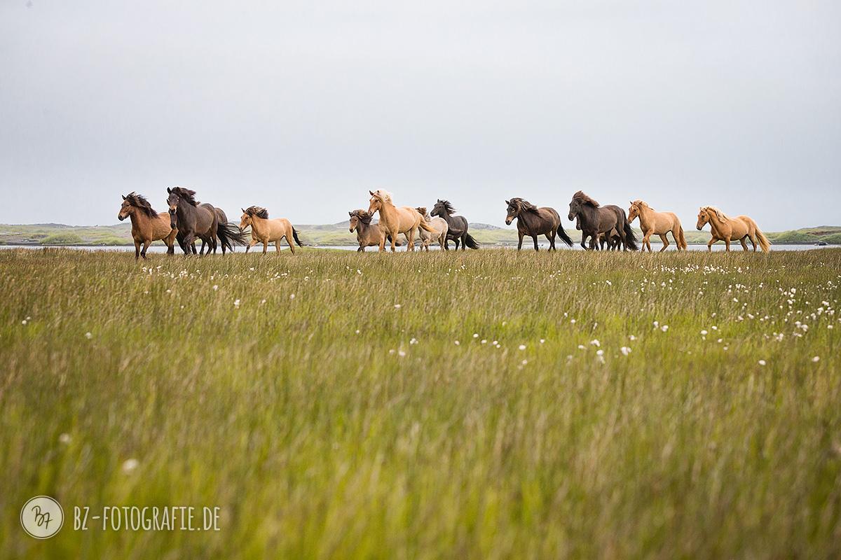 Fotoreise Island Sommer 2016 (I): Die Herde - BZ Fotografie | {Herde 82}