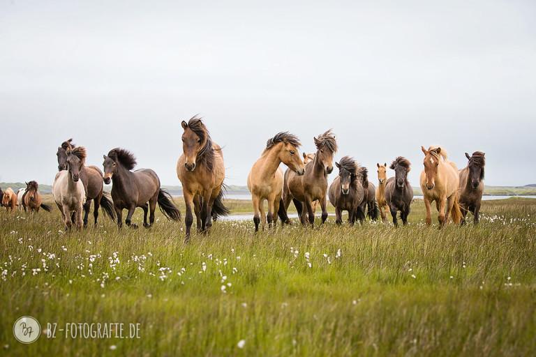 Islandpferde-Herde kommt heran