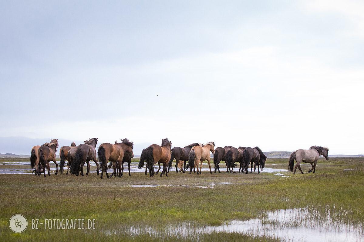 islandpferde-herde-island-029