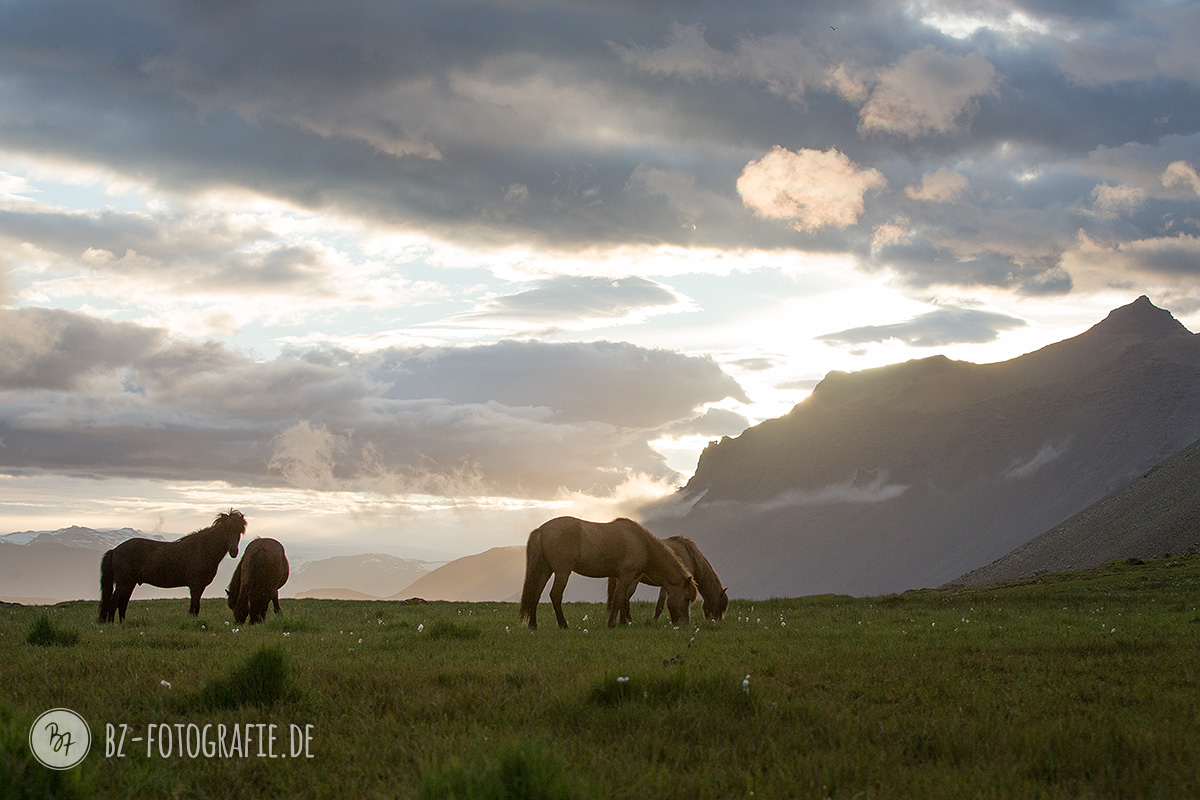 islandpferde-herde-island-056