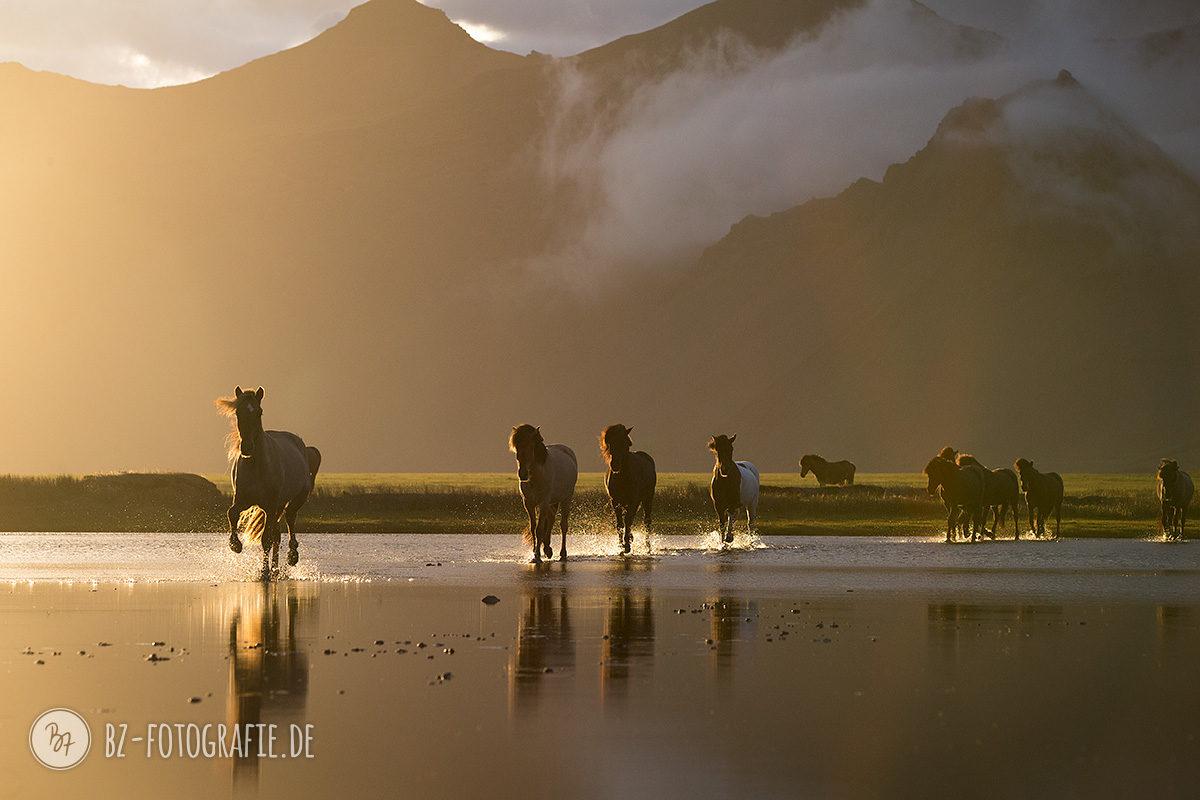 Islandpferde-Herde im Wasser bei Sonnenuntergang