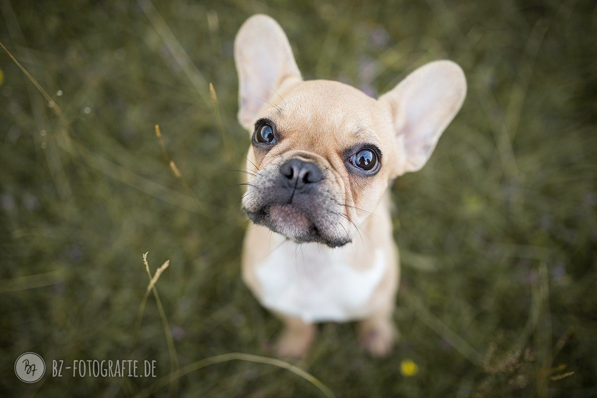 Hundefotografie | French Bulldog Welpe | BZ Fotografie