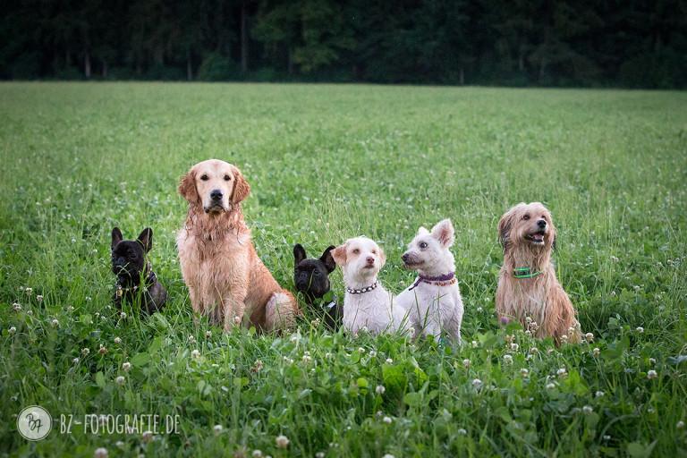 Hundegruppe beim Socialwalk in Aßling | BZ Fotografie