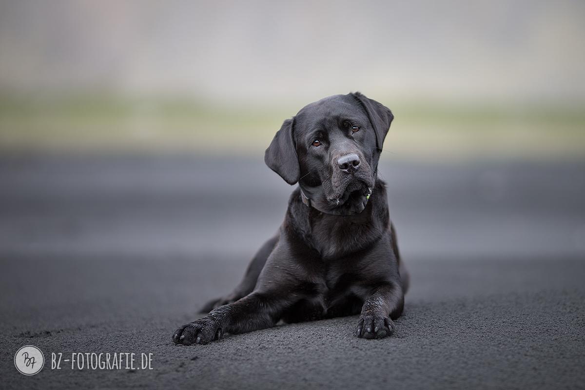 Schwarzer Labrador auf schwarzem Sandstrand
