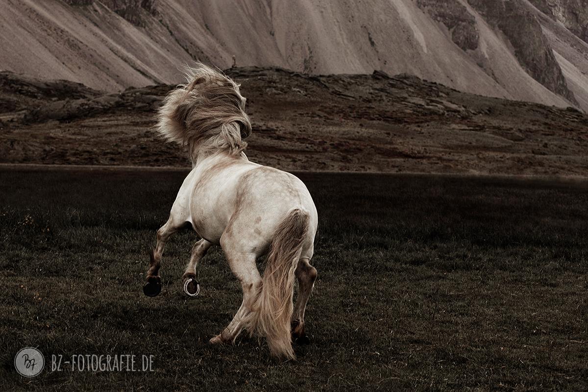 islandpferd-schimmelhengst-hvellur-008