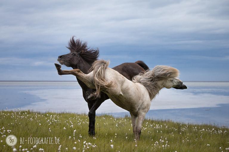 Kämpfende Hengste auf Island