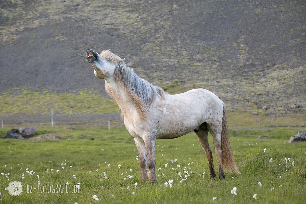 islandpferde-hengstherde-035