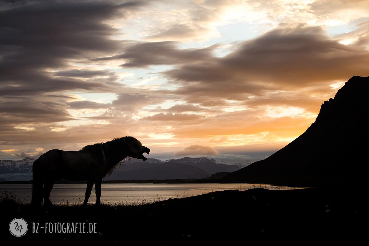 islandpferde-hengstherde-036