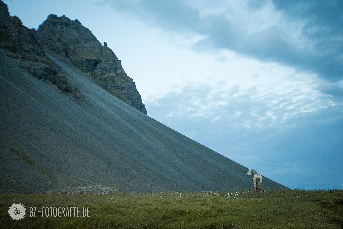islandpferde-hengstherde-040