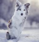 Hundefotografie bei München: Border Collie im Schnee