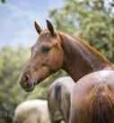 Pferdefotografie: Junge Warmblutstute auf der Weide