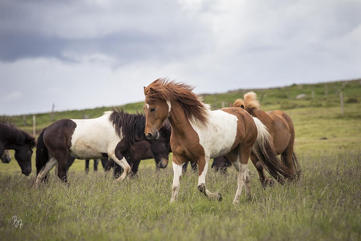 pferdefotograf-island-hofsstadir-002