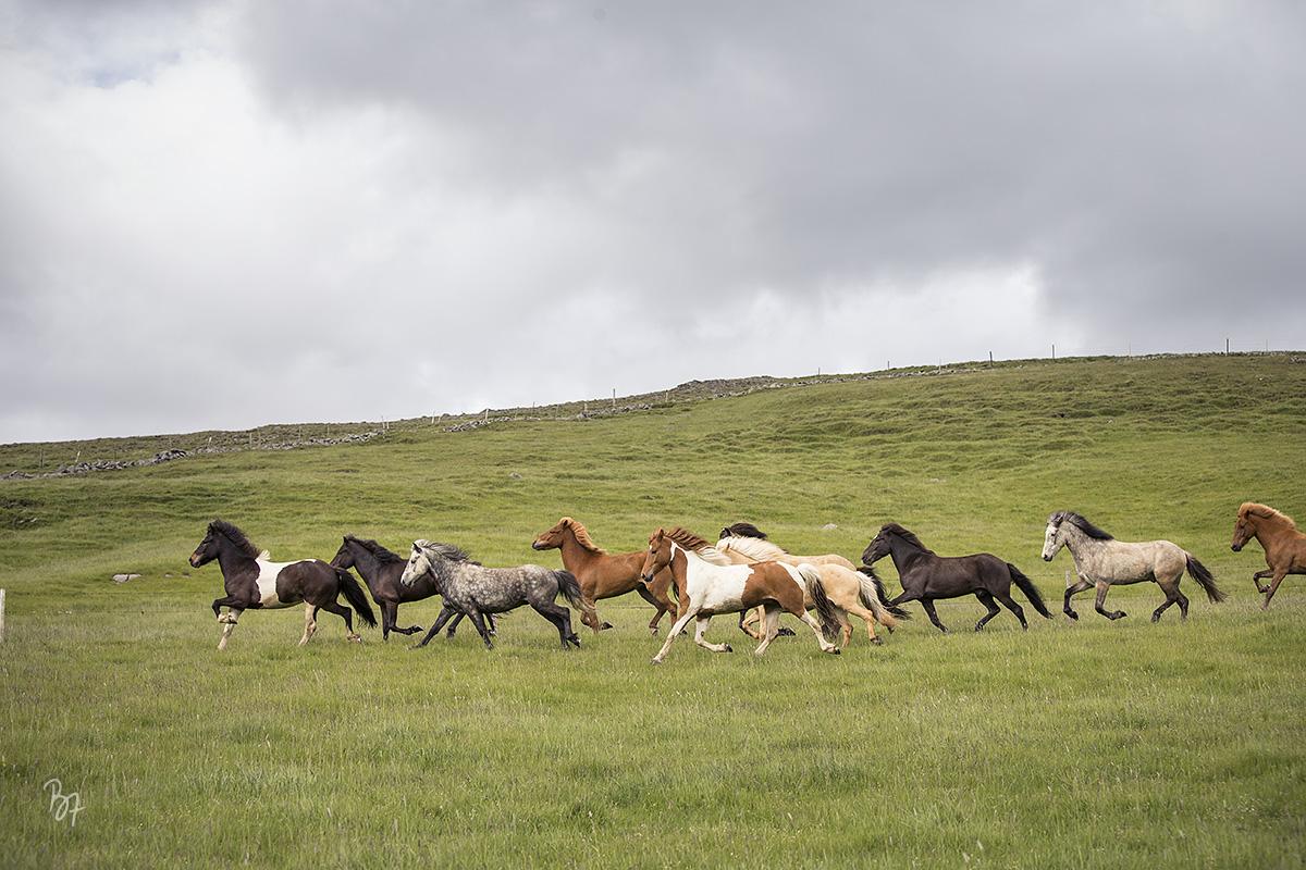 pferdefotograf-island-hofsstadir-007