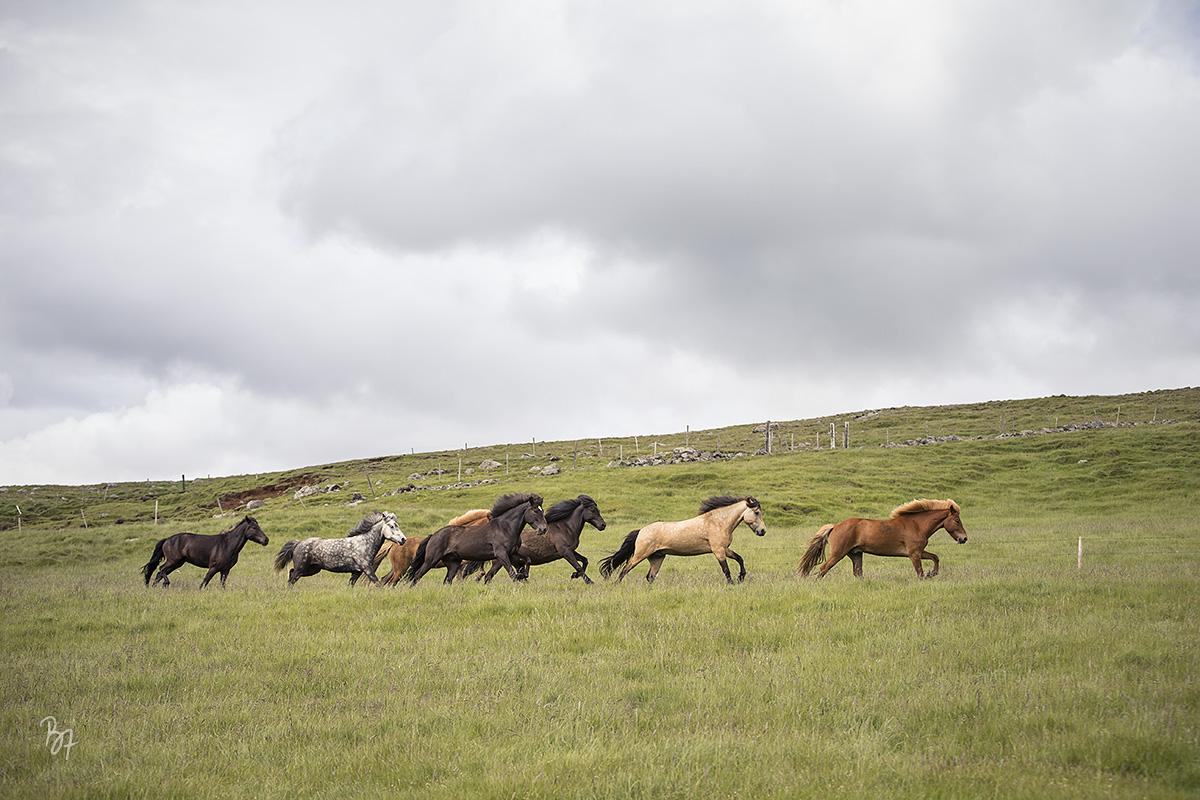 pferdefotograf-island-hofsstadir-009