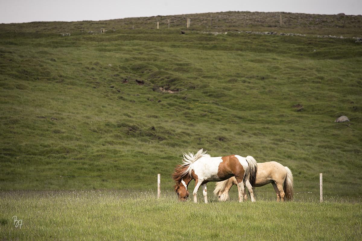 pferdefotograf-island-hofsstadir-010