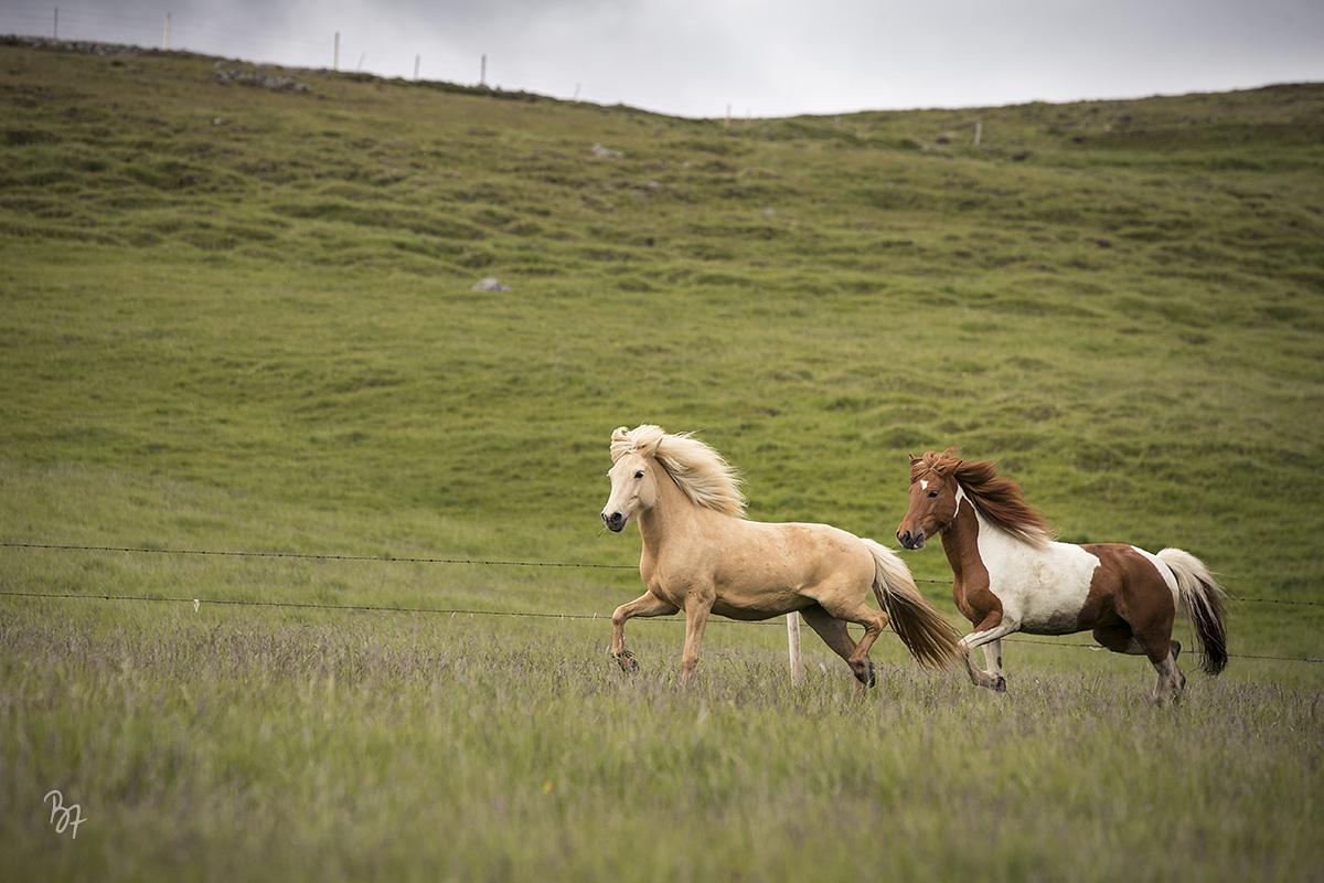 pferdefotograf-island-hofsstadir-012
