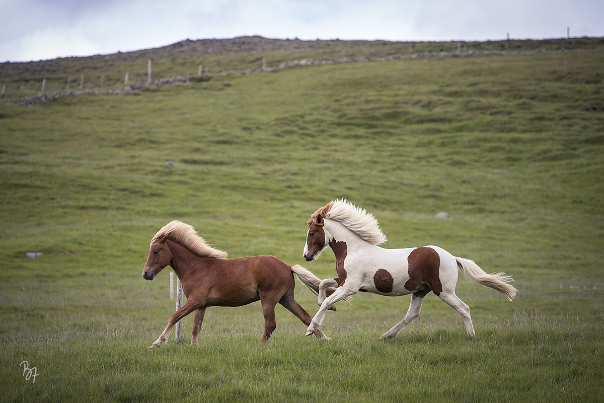 pferdefotograf-island-hofsstadir-027