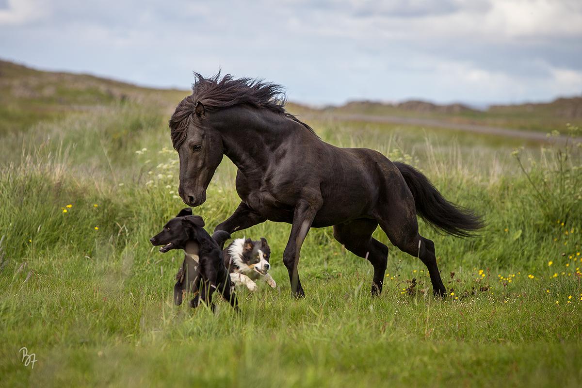 Islandhengst mit Hunden auf der Weide