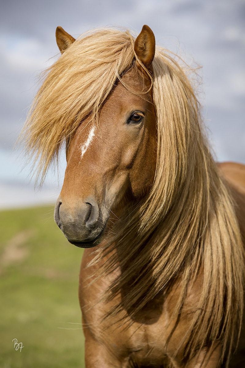 pferdefotograf-island-lundar-004