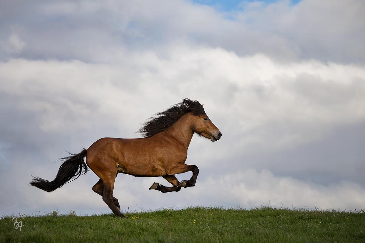 Island Jungstute Galopp Weide Wolken